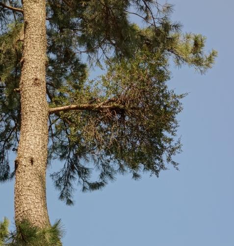 敷島公園内のクロマツそれに寄生するマツグミ
